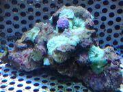 Scheibenanemonen Koralle