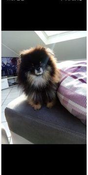 Pomeranian Zwergspitz Kein Verkauf