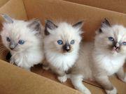 Reinrassige Ragdoll Kitten suchen ein