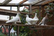 Takla und usbekische Tauben