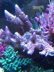 Abrotanoides Fijii Pink braun Korallen