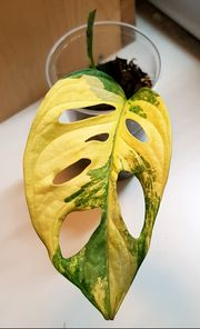 Monstera adansonii aurea - yellow variegated -
