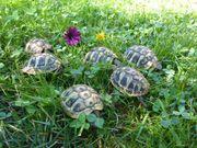 Griechische Landschildkröten Thb - Nachzuchten 2019