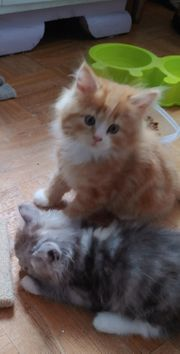 3 Perser Main Coon Kater