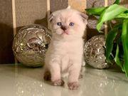BKH Scottish Fold Kitten Kätzchen