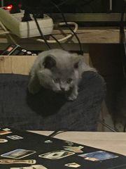 BKH Beibi Katzen zum verkaufen