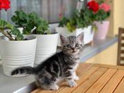 Bkh kitten Whiskas Silver tabby