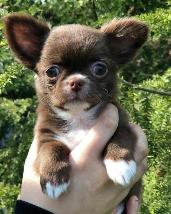 Kc Reg Chihuahua Welpen Zu Verkaufen In Berlin Hunde Kaufen Und Verkaufen Uber Private Kleinanzeigen
