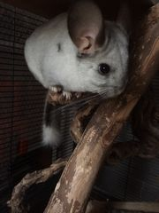 Chinchillas 2 Männchen