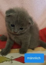 BKH mit Scottish fold