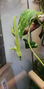 Großer Madagaskar Taggecko-Phelsuma Grandis