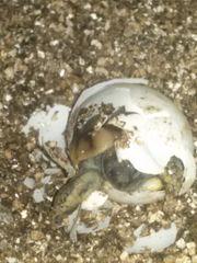 Griechische Landschildkröten NZ von 2018