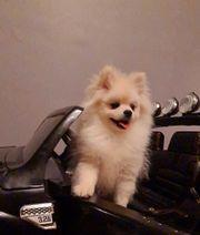 Reinrassige Pomeranian kleine Taddy Bär