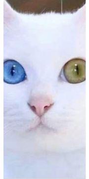 Achtung ich suche Odd Eyed