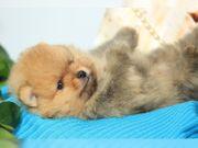 Pomeranian Reinrassige Welpen whatsapp 015211447907