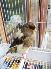 Yorkshire Weibchen Kanarienvogel