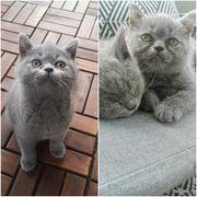Bkh Kätzchen noch übrig Weibchen
