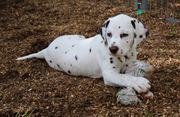Dalmatiner Welpe aus VDH-Zucht sucht