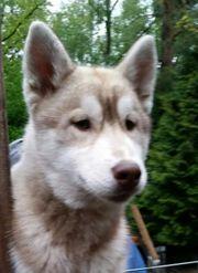 Siberian Husky Welpe mit VDH