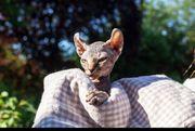 Sphynx Canada Elf-Kitten prämierter Stammbaum