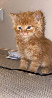 Hauskätzchen kitten langhaar
