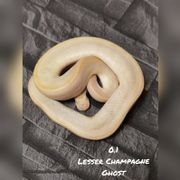 0 1 Champagne lesser ghost