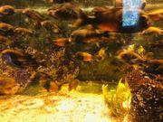 Aquarium mit Buntbarschen und Welsen