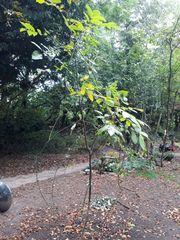 Walnussbäume - Herbst ist Pflanzzeit