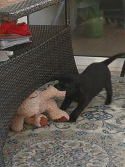 Labradorwelpe schwarz weiblich m P