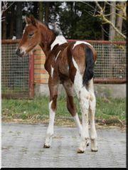 Pinto Pony Hengstfohlen - Braunschecke - arabisch