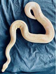 Königspython python regius 2 Stück