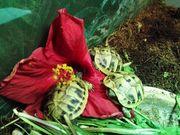 Testudo Hermanii griechische Schildkröten