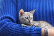 Katzen baby Bengal