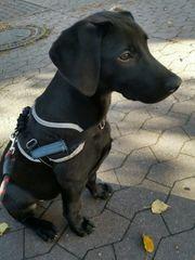 Labrador-Mix 4 Monate jung
