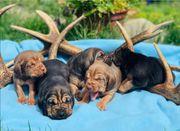Bloodhound Welpen