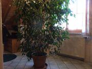 Benjamini - große Zimmerpflanze zu verschenken