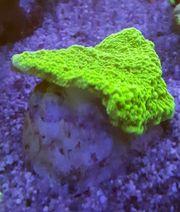 Montipora grün