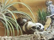 Leopardgeckos E macularius 0 2