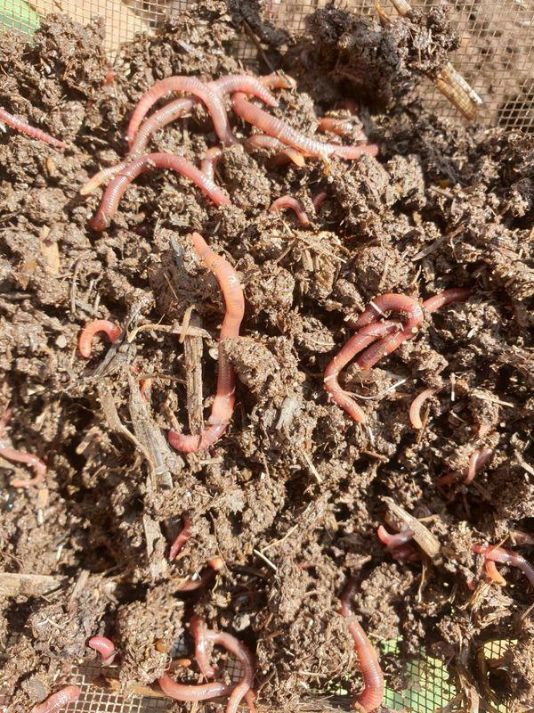 Kompostwürmer Tennessee Wiggler Eisenia foetida