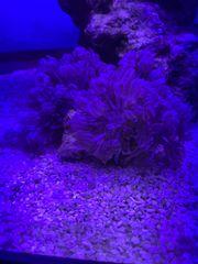 Xenia - Koralle Korallen Meerwasser Aquarium
