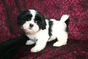 Shih-Tzu puppies for sale