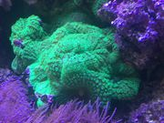 Discosoma marmoratus Meerwasser