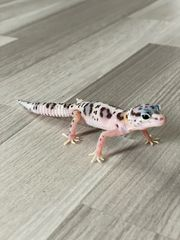 leopardgeckos 0 1