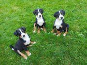 Appenzeller Sennenhund Welpen Rüden
