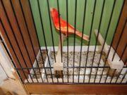 Roter Kanarien Hahn