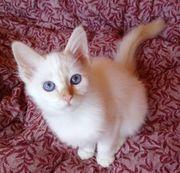 Heilige Birma Kitten weiblich