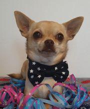 Chihuahuarüde sucht liebevolles Zuhause
