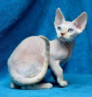 Kitten Devon Rex Kater