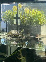 Wasserschildkröte mit Aquarium komplett