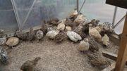 Verkaufe Legewachteln Hahn Henne verschiedene